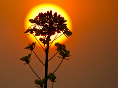 Silhouette flower | by Dick Verton ( more than 12.000.000 visitors )