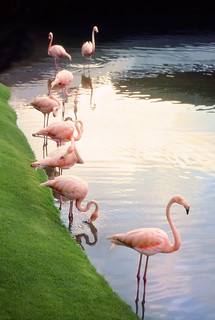 Flamingos | by jlee 2008