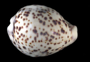 Cypraea tigris Linné, 1758 | by Smithsonian National Museum of Natural History