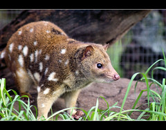 Spotted Tail Quoll | by Kerri Afford