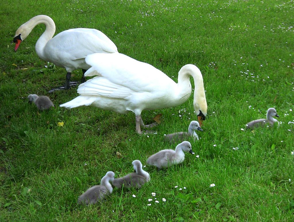 Familie Schwan auf der grünen Wiese 12- 24/690