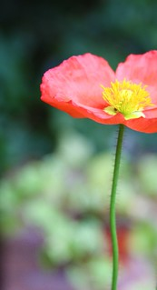 {Poppy} | by maebeitsme