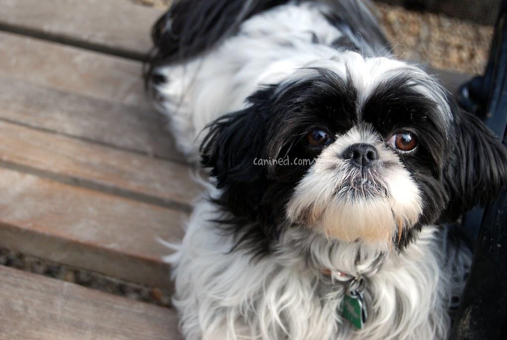Canined Groomed Black White Havanese Dog Haircut 030109 3 Flickr