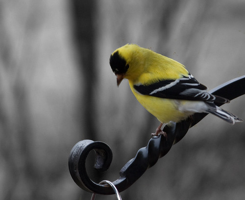 goldfinch | by basianov