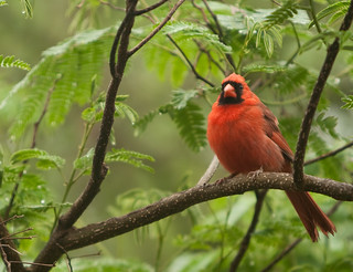 Cardinal Photo Op | by @HandstandSam