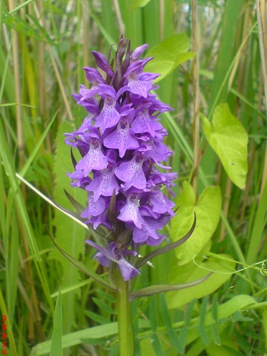 Southern Marsh Orchid, RSPB Minsmere | by ♫ Claire ♫