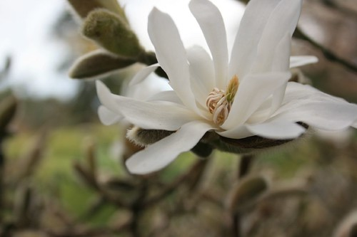 Magnolia stellata | by rosewoodoil