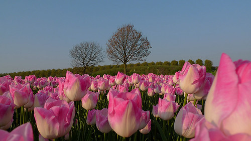 Pink-white tulips in the Flevopolder | by ingo.ronner