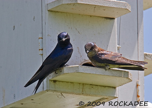Purple Martins | by ROCKADEE - Rockey & Dee