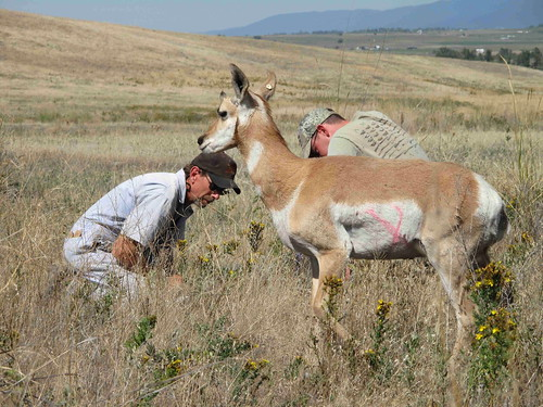 Pronghorn Fawn | by USFWS Mountain Prairie