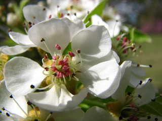 pear tree bloom | by Visit North Carolina