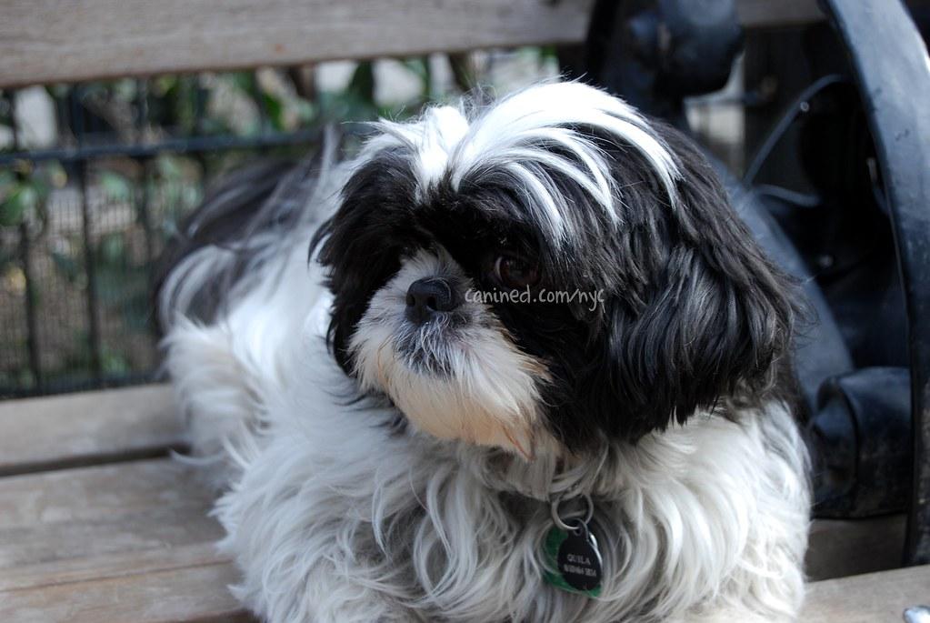Canined Groomed Black White Havanese Dog Haircut 030109 6 Flickr