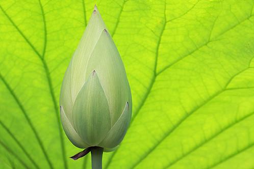 Lotus flower bud img8521 lotus flower bud bahman farzad lotus flower bud img8521 by bahman farzad mightylinksfo
