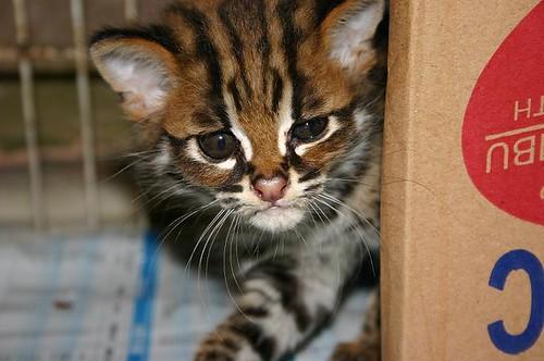Asian Leopard Cat Breeding