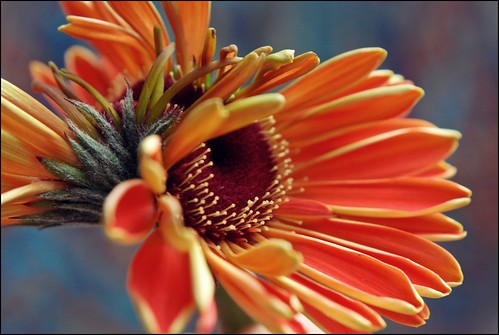 gerbera(s) | by Ray L G