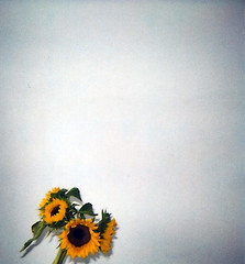 bunch of sunflowers | by christadavid