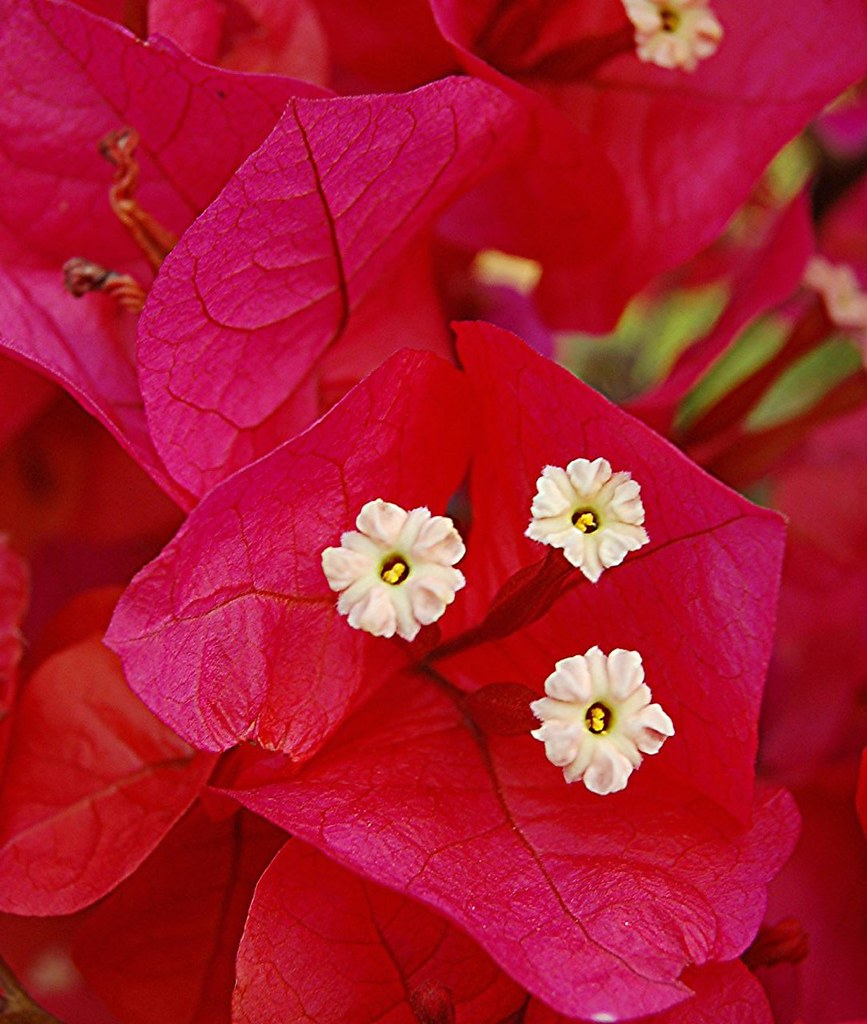 Bougainvillea White Flowers And Rosy Red Leaves Or Brac Flickr