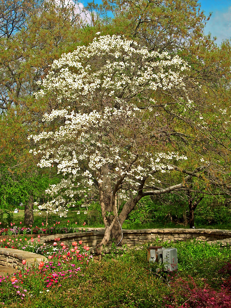 Dogwood Tree, Ft. Worth Botanical Garden | The dogwood trees… | Flickr