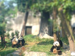 Giant Pandas -tiltshifted! | by LJRich