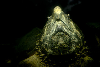 Alligator Snapping Turtle (Macrochelys temminckii) | by brian.gratwicke