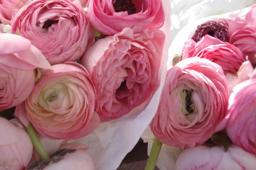 Pink Ranunculus | by such pretty things