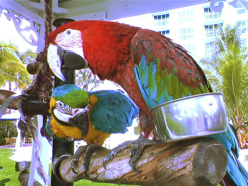 Miami 2005: Parrots on a hotel's grounds, Chance & Sunshine | by Chris Devers