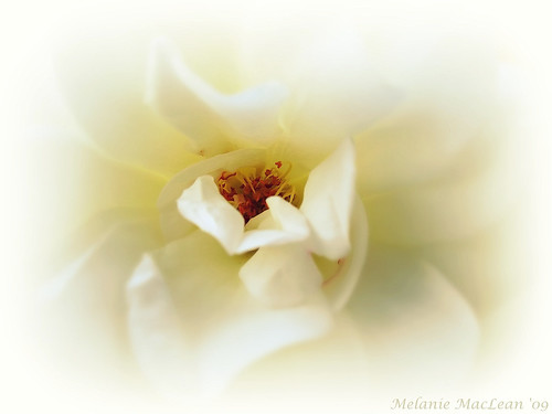Rose Whispers.........IMG_6396_fa | by msamaclean ©