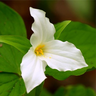 Simple Trillium | by PhotoDocGVSU