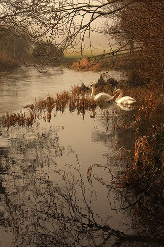 Swans on the River Frome | by dorsetforyou.com