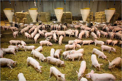 Factory Farming Pigs | by visionshare