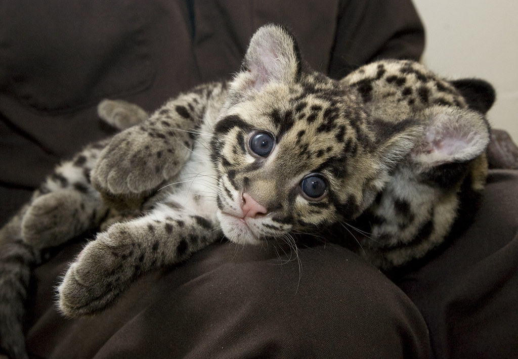 clouded leopard cubs are 12 weeks old the 12 week old clo flickr