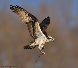 Male Osprey | by JRIDLEY1