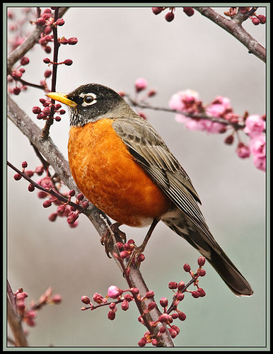 Robin and early blooms - go together | by TT_MAC