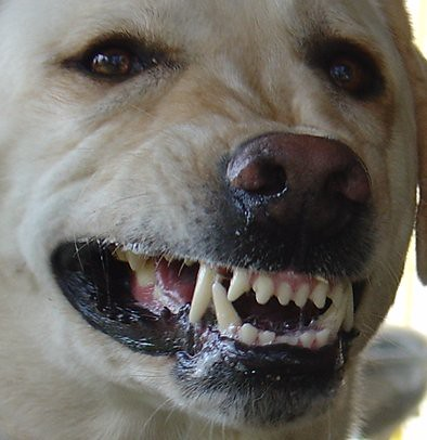 Picture of Big Dog with Big Teeth! Close Up Big Yellow Lab… | Flickr