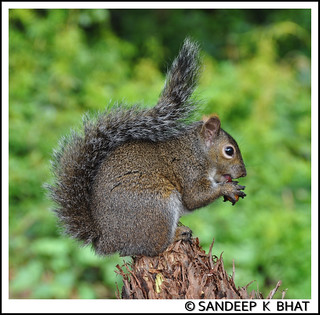 SquirrelCloseup | by Sandeep K Bhat
