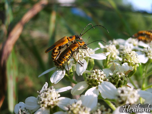 Soldier Beetles | by hexihash
