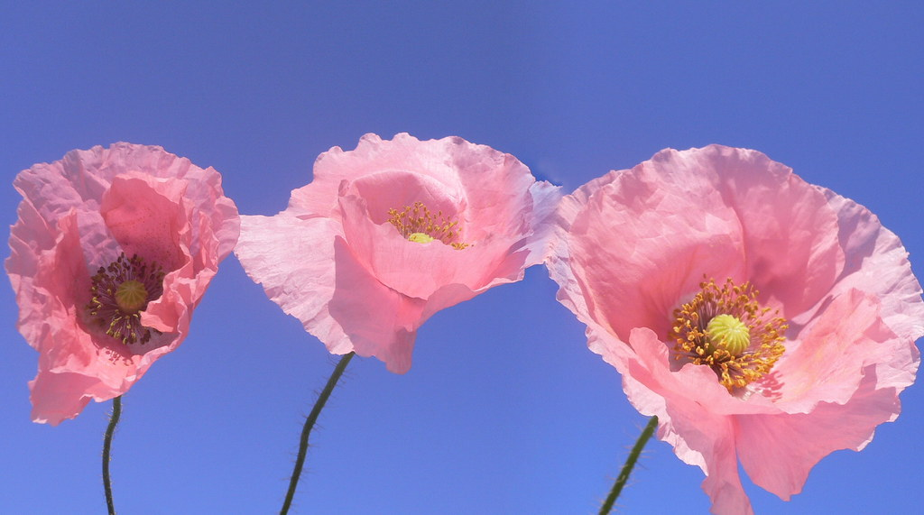 Pink Poppies Natural Mutation Of Papaver Rhoeas A Poppy Flickr