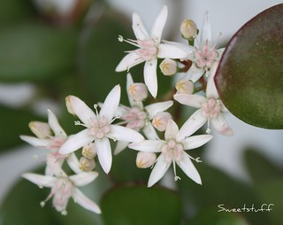 "Jade plant flowers! | by Sweetstuff ""Candy"""