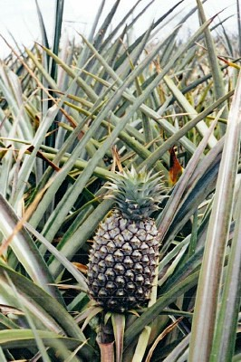 Pineapple Plantation Tour Maui Kapalua