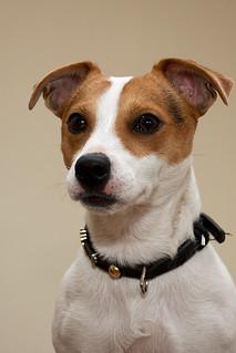 Professional Dog Ear Cropper