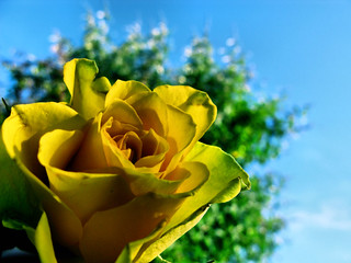 Yellow Rose - Part Two | by cor_alee
