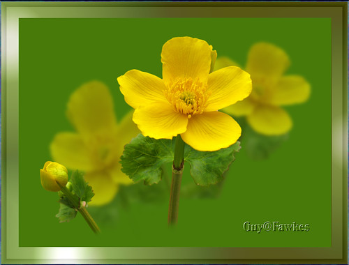 Caltha  or Marsh Marigold / Kingcup | by Tony / Guy@Fawkes