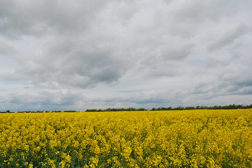 Rapeseed Field | by goingslowly