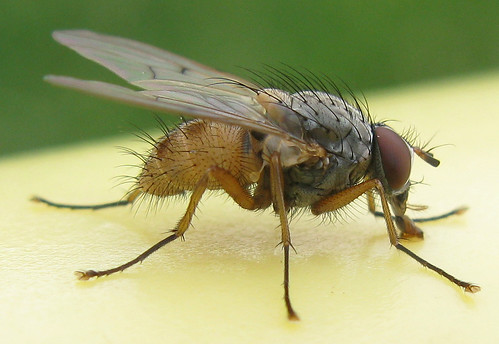 Fat Fly | by adamantine