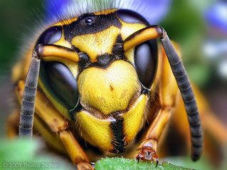 Face of a Southern Yellowjacket Queen (Vespula squamosa) | by Thomas Shahan