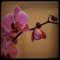 phalaenopsis | by fertraban
