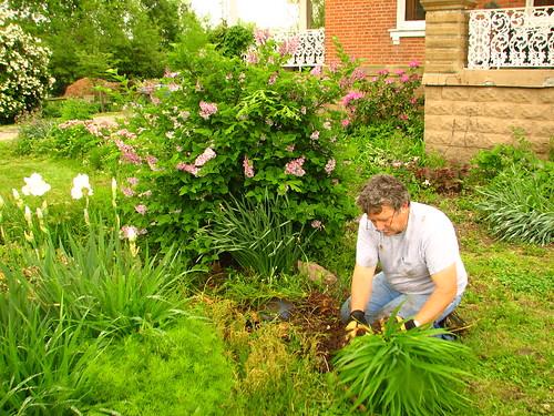 digging daylilies