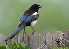 Black-billed-Magpie | by colorob