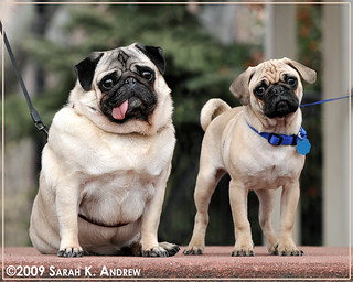 Portrait of Pugs in the Park: Otto and Clancy | by Rock and Racehorses