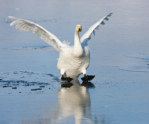 Whooper Swam comes in for an ice landing and puts on the brakes | by merigan